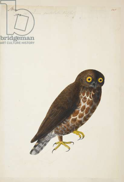 "Brown Hawk Owl, ""Ninox scutulata"" 