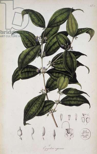 "Representation de la Pternandra. planche 8 tiree de """"Rumphia, sive commentationes botanicae, imprimis de plantis Indiae orientalis"""" par Carl Ludwig Blume, 1835-1848. The British Library Institution Reference: Shelfmark ID: 725.I.3-5. Vol.1 Ewyckia oyanca, c1835-c1848. Plate 8 from """"Rumphia, sive commentationes botanicae, imprimis de plantis Indiae orientalis"""", a work on the plants of Indonesia, by Carl Ludwig Blume. (Leiden 1835-48). ©The British Library Board/Leemage"