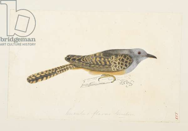 "Plaintive Cuckoo (possibly), ""Cacomantis merulinus""