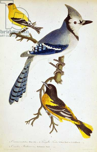 "Ornithologie : representation du geai bleu, canari, loriot (chardonneret) Planche de zoologie tiree de """"American Ornithology; or, the natural history of the birds of the United States"""" par Alexander Wilson 1808-1814. The British Library. Institution Reference: Shelfmark ID: 460.b.7 Blue Jay, Yellow Bird or Goldfinch and Baltimore Oriole, c1808-c1814 All perched on a branch. Plate 1 from """"American Ornithology; or, the natural history of the birds of the United States."""" by Alexander Wilson. (Philadelphia, 1808-14).  ©The British Library Board/Leemage"