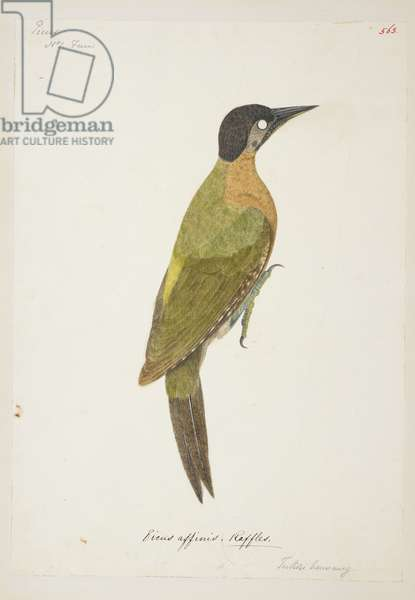 """Laced Woodpecker (female) (possibly) """"Picus vittatus"""" from the Raffles Collection, One hundred and twenty-nine drawings in watercolour of birds from Sumatra, 1820 (w/c on paper)"""