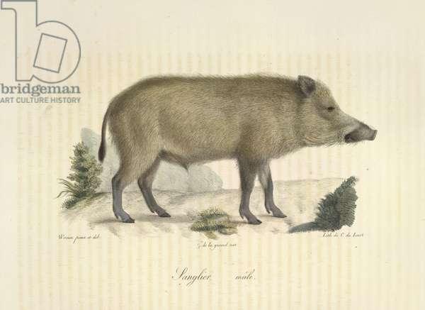 Sanglier, mâle, from Histoire Naturelle des Mammifères (colour litho)