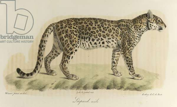 Léopard, mâle. A male leopard, from 'Histoire Naturelle des Mammifères' (colour litho)