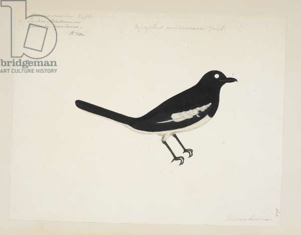 "Oriental Magpie Robin, ""Copsychus saularis""