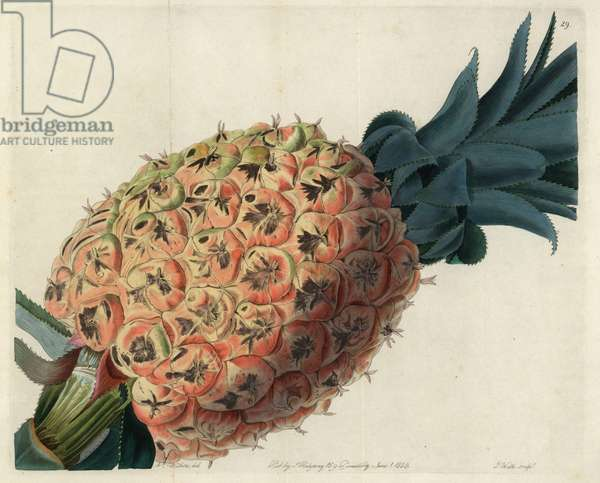"Otaheite pineapple from John Lindley's ""Pomological Magazine"", 1827 (coloured engraving)"
