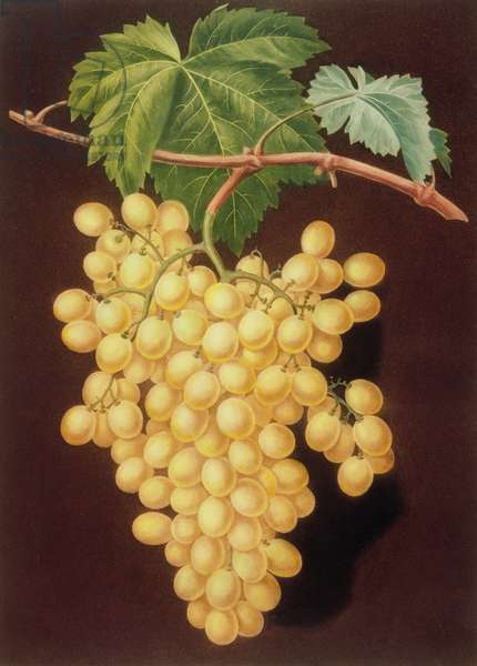 Grape: Muscat of Alexandria (pl.53) from from 'Pomona Britanica', 1812 by George Brookshaw