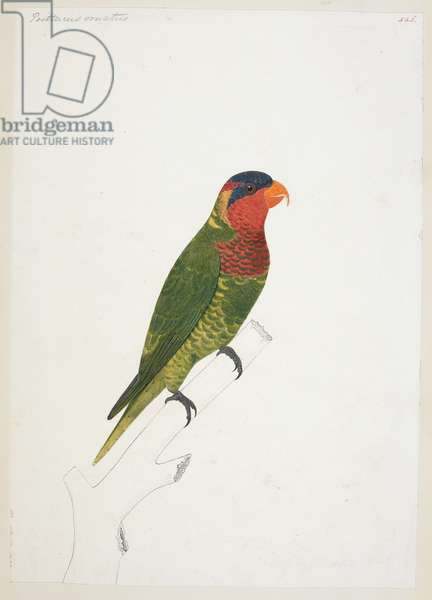 "Ornate Lory, ""Trichoglossus ornatus""
