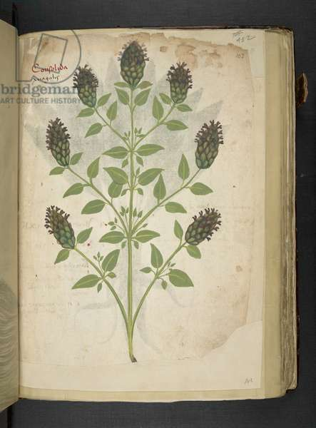 Add MS 41623 f.103r Consolida, from 'A herbal', Belluno (ink & colour on vellum)