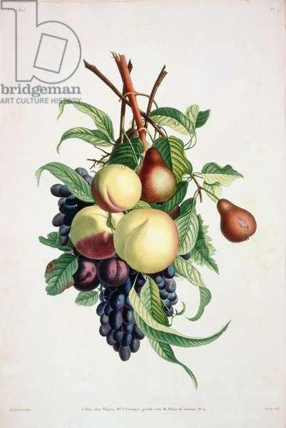 Pear: Russet; Peach, Maltese: Plum, Swiss and Grape, Purple Gherkin, Pl.25, from 'Collection des Fleurs et des Fruits Peints d'apres Nature', 1805 by Jean Louis Prevost (1760-1810)