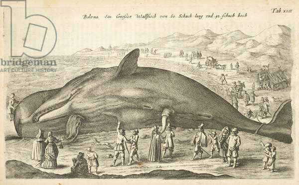 Tab XLII, Whale, Illustration from from 'Historiæ naturalis de quadrupetibus', 1657 (engraving)