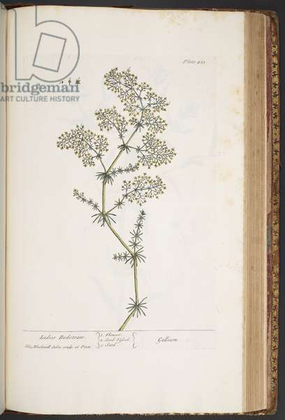 Plate 435, Ladies Bedstraw, from 'A Curious Herbal', 1737 (coloured engraving)