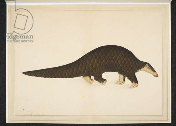 Add. Or. 4667, Pangolin or scaly anteater, 1779 (opaque w/c on paper)