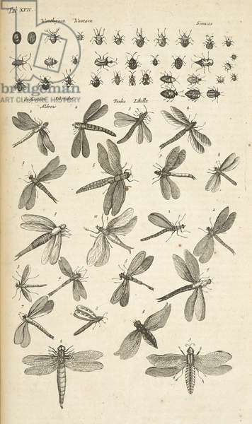 Tab XVII, Dragonflies, Illustration from from 'Historiæ naturalis de quadrupetibus', 1657 (engraving)