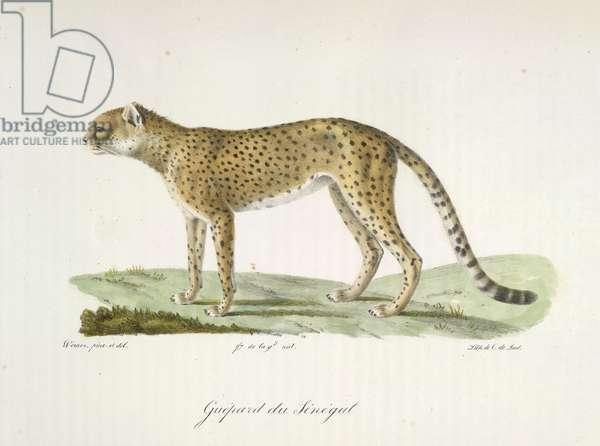 Guepard du Sénégal, from Histoire Naturelle des Mammifères (colour litho)