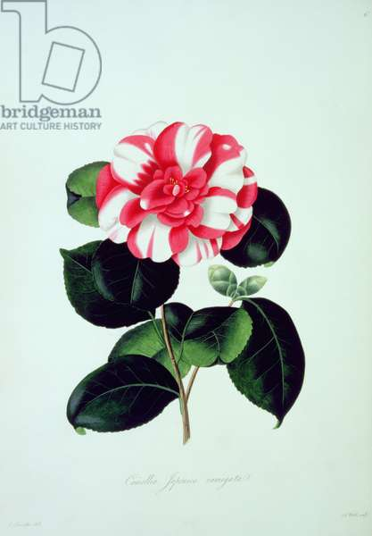 Camellia: Japonica variegata, from `Illustrations and descriptions of the plants which compose the natural order of Camellie', 1831, drawings by Alfred Chandler, descriptions by William Booth