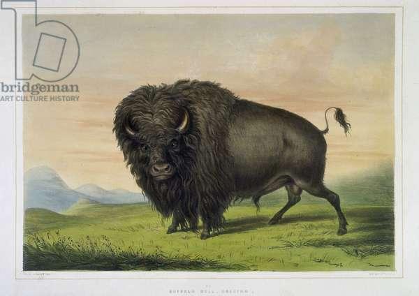 """Bison en train de paitre. In """"""""Portfolio de l'indien nord-americain Catlin. Scenes de chasses et de divertissements de la region des Rocheuses et des Prairies d'Amerique"""""""",  par George catlin (1796-1872), illustration de McGahay, 1844. British Library. Institution Reference: Shelfmark ID: 1788.c.7 Buffalo Bull, grazing. From """"""""Catlin 's North American Indian Portfolio. Hunting scenes and amusements of the Rocky Mountains and Praries of America"""""""" by George Catlin, 1844  ©The British Library Board/Leemage"""