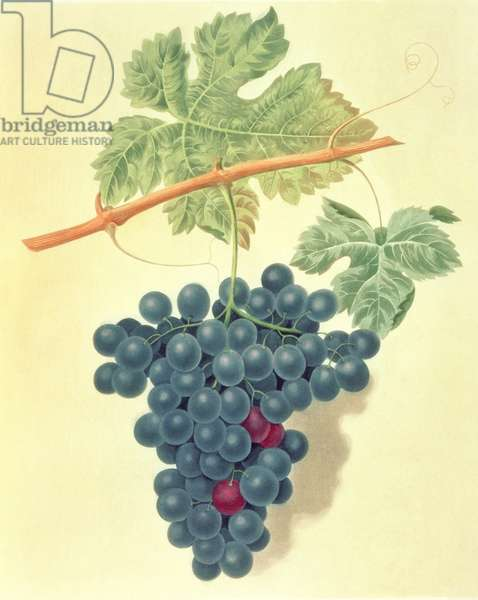 Grape: Frankindale Grape (pl.62) from 'Pomona Britanica', 1812 by George Brookshaw