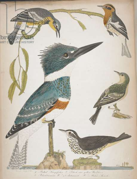 1. Belted kingfisher. 2. Black and yellow warbler. 3. Blackburnian warbler. 4. Autumnal warbler. 5. Water thrush.