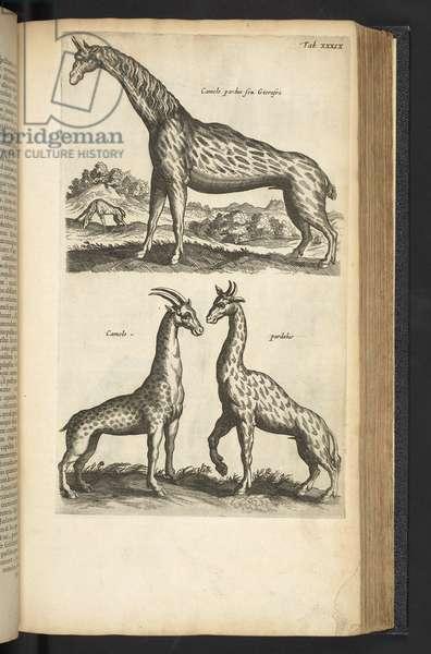 Tab XXXIX, Giraffes, Illustration from 'Historiæ naturalis de quadrupetibus', 1657 (engraving)