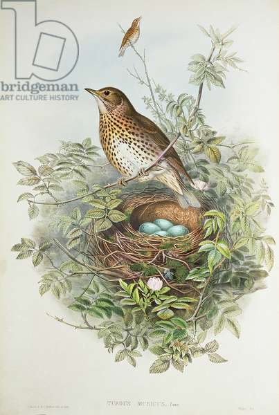 Thrush with its nest (colour litho)