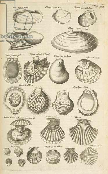 Tab XIIII, Various shells, Illustration from from 'Historiæ naturalis de quadrupetibus', 1657 (engraving)