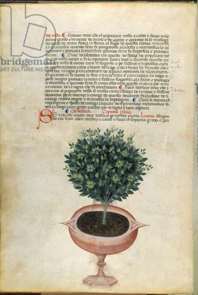 A basil plant in a pot, illustration from 'Carrara Herbal', Padua, c.1400 (pen & ink with gold on paper)