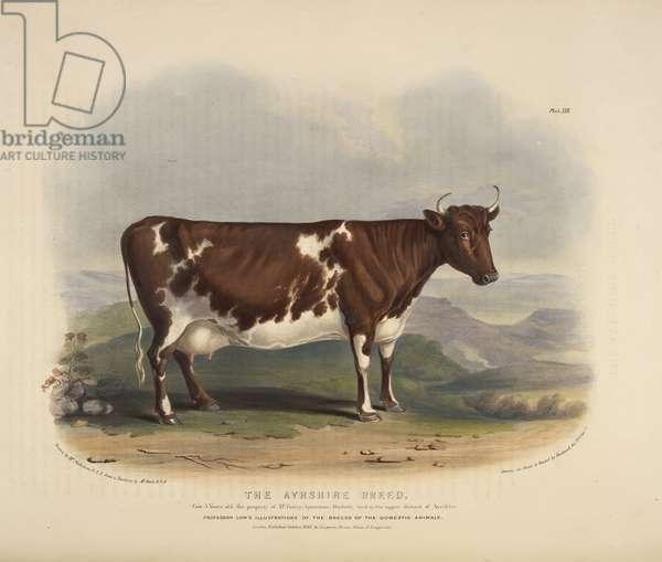 The Ayrshire Breed