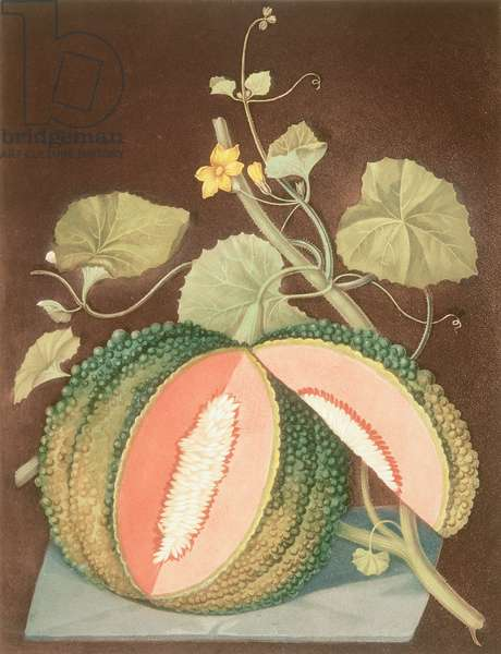 Melon: White-seeded rock, Pl.65, from 'Pomona Britannica', 1812 by George Brookshaw