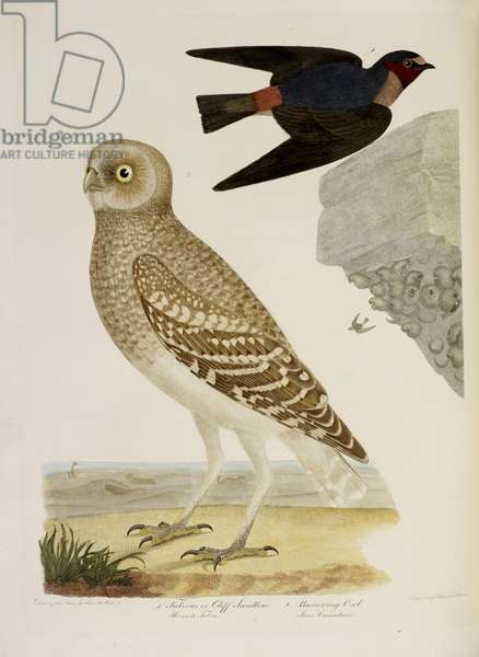 Cliff Swallow and Burrowing Owl