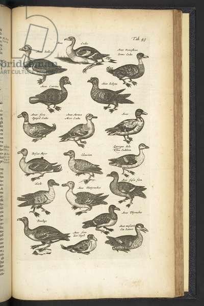 Tab 49, Ducks, Illustration from 'Historiæ naturalis de quadrupetibus', 1657 (engraving)