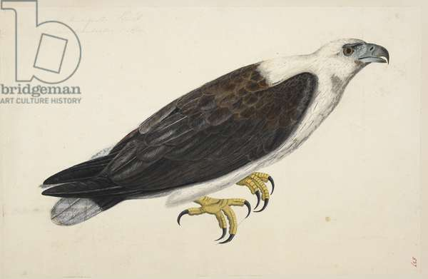 "White-Bellied Sea Eagle, ""Haliaeetus leucogaster""