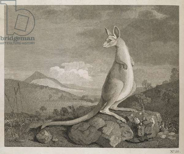 An Animal Found on the Coast of New Holland called Kangaroo, 1773 (engraving)