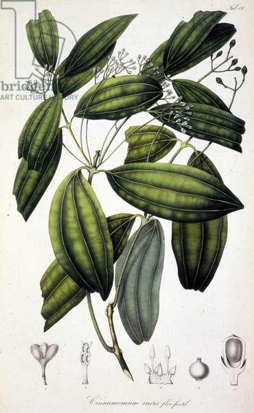 "Cannelier ou Cannellier Planche botanique tiree de """"Rumphia, sive commentationes botanicae, imprimis de plantis Indiae orientalis....."""" par Carl Ludwig Blume, 1835-1848 The British Library Institution Reference: Shelfmark ID: 725.I.3-5. Vol.1 Cinnamomum flofertil, c1835-c1848. Plate 18 from """"Rumphia, sive commentationes botanicae, imprimis de plantis Indiae orientalis....."""", a work on the plants of Indonesia, by Carl Ludwig Blume. (Leiden 1835-48). ©The British Library Board/Leemage"