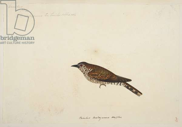 """Gould""""s Bronze Cuckoo, """"Chrysococcyx russatus"""" from the Raffles Collection, One hundred and twenty-nine drawings in watercolour of birds from Sumatra, 1820 (w/c on paper)"""