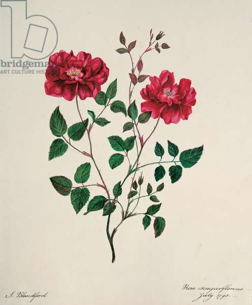 Rosa chinensis semperflorens, 1795 (w/c on paper)