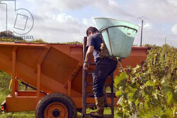 Harvest at Chateau Pepetit Boyer