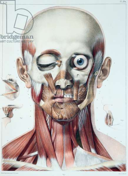 Musculature of the face with the orbit of the eye, plate from 'Traite Complet de l'Anatomie de l'Homme' by Jean-Baptiste Marc Bourgery (1797-1849) engraved by Bernard, Paris, 1831 (colour litho)