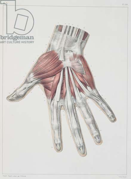 Musculature of the hand, plate from 'Traite Complet de l'Anatomie de l'Homme' by Jean-Baptiste Marc Bourgery (1797-1849) engraved by Bernard, Paris, 1831 (colour litho)