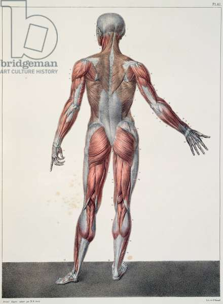 Anatomy of the human body, from 'Traite Complet d'Anatomie de l'Homme' by Jean-Baptiste Marc Bourgery (1797-1849) engraved by Bernard, Paris, 1831 (colour litho)