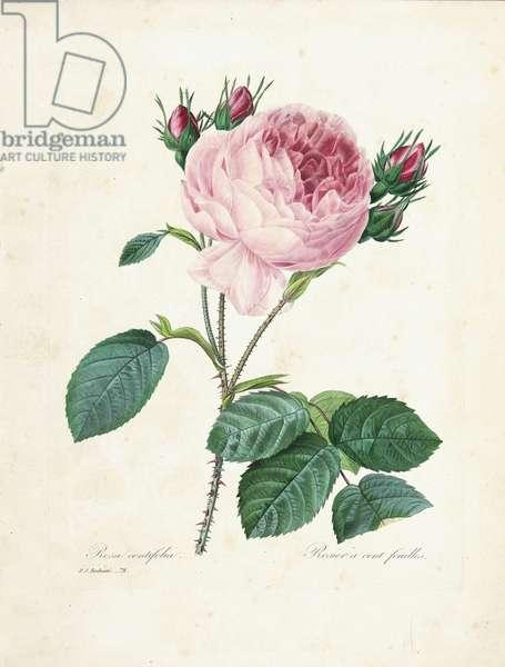 Hundred-Leaved Rose, from 'Choix des Plus Belles Fleurs et des Plus Beaux Fruits', Vol. I,  1827-33 (coloured engraving)