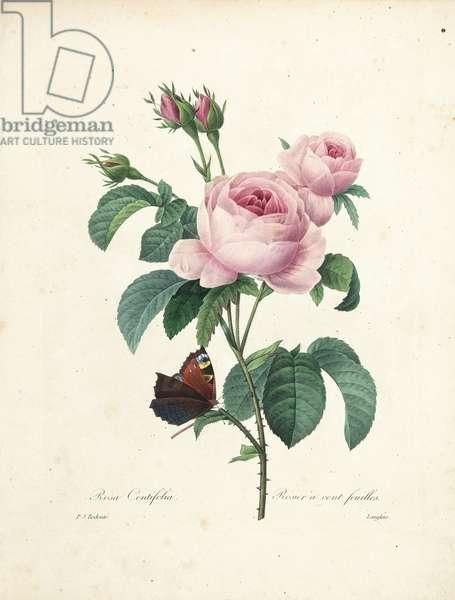 Hundred-Leaved Rose, engraved by Langlois, from 'Choix des Plus Belles Fleurs et des Plus Beaux Fruits', Vol. I,  1827-33 (coloured engraving)