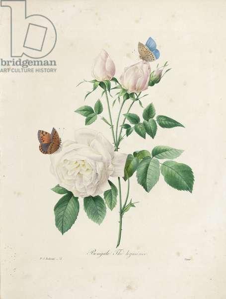 Bengale Thé Hyménée, engraved by Victor, from 'Choix des Plus Belles Fleurs et des Plus Beaux Fruits', Vol. I, 1827-33 (coloured engraving)