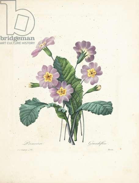 Primrose, engraved by Bessin, from 'Choix des Plus Belles Fleurs et des Plus Beaux Fruits', Vol. II, 1827-33 (coloured engraving)