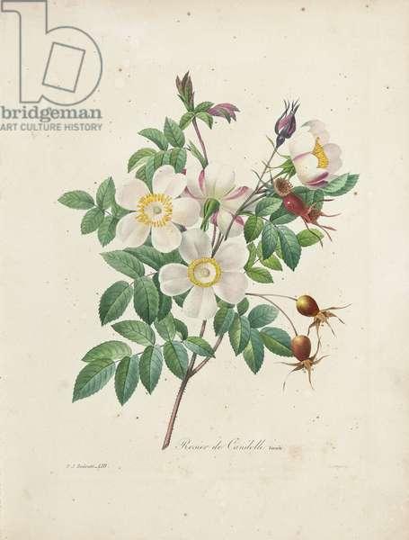Rosier de Candolle, from 'Choix des Plus Belles Fleurs et des Plus Beaux Fruits', Vol. I, 1827-33 (coloured engraving)
