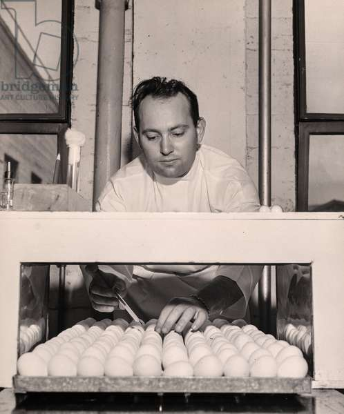 Scientist Injecting Eggs, July 1943 (silver gelatin print)