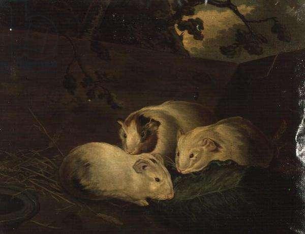Primitive Study of Guinea Pigs