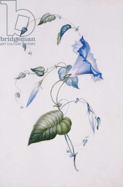Blue convolvulus, 1832 (w/c on paper)