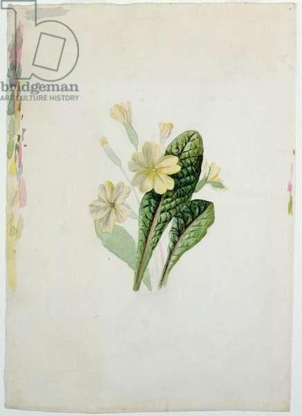 Study of a primrose, c.1830 (w/c on paper)