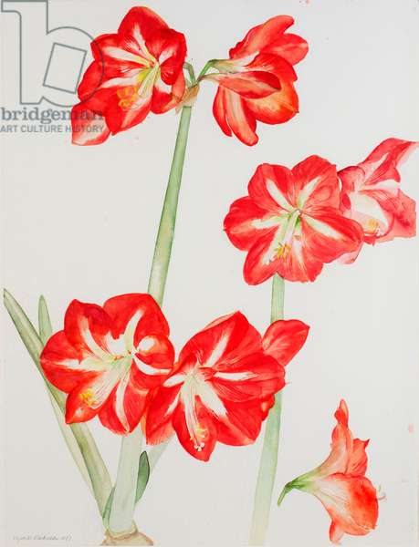Amaryllis, 1987 (w/c on paper)