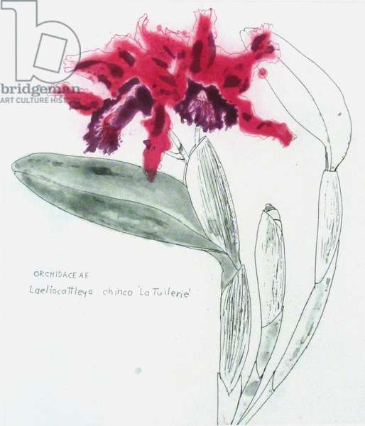 Orchidaceae Laeliocattleya Chinco, 2009 (colour etching)